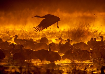 Bosque del Apache in Flight