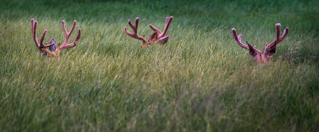 Not-so-Hidden Elk