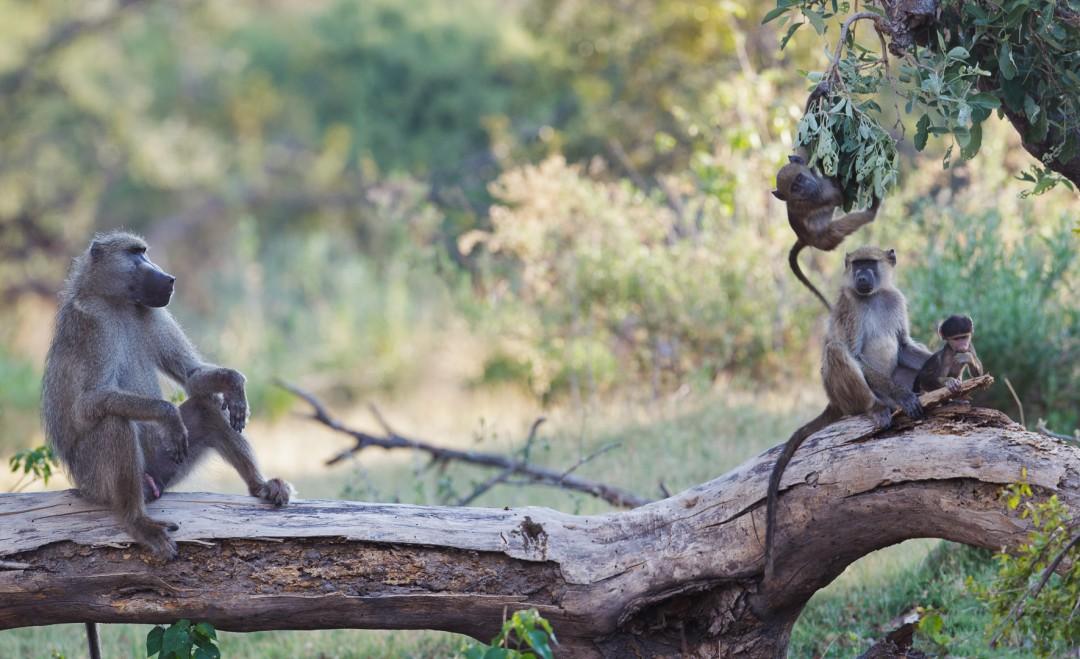 Botswana Baboon Family