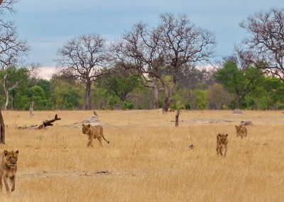 Zimbabwe Lions Approaching