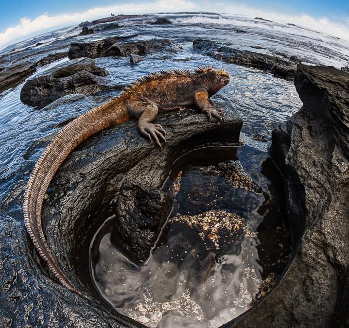 King of the Galapagos